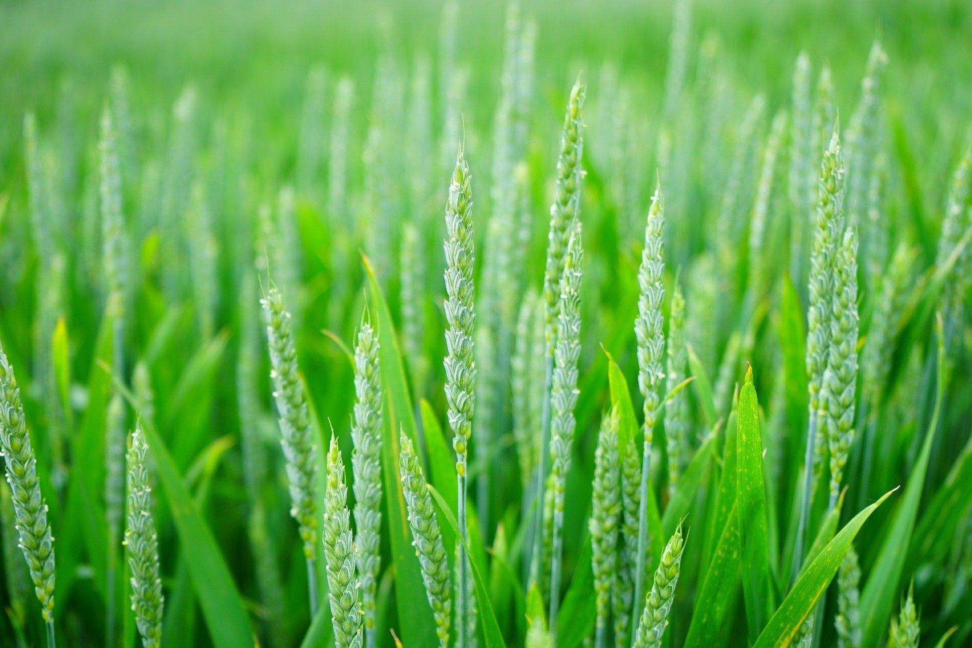 wheat-1117267_1920